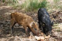hairy pigs