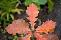 Bur Oak Sapling in Fall Colors