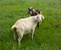 Goat Friends