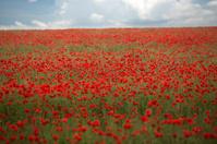 Poppy field under sky