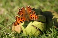 Comma (butterfly)