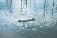 Swan with head underwater