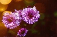 rain drops on purple flowers