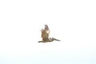 Pelican´s Fly
