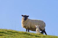 Spring lamb hillside