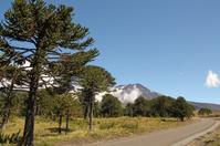 Araucaria, symbol of Chile