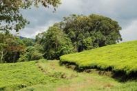Country road through Tea Platation Nyungwe National Park Rwanda