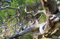 Dead pine tree.
