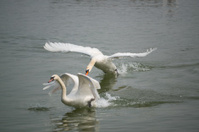 angry swans