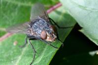 housefly on leaf plants