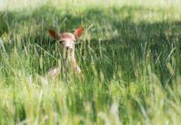 Hidden Young Deer