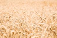 Wheat Field on Farmland