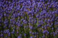 Beautiful Purple Hyacinths
