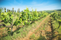 vineyard landscape in tuscany