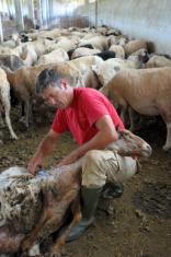 Sheep Shearing series