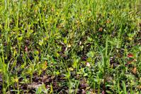 Grass scutch close-up