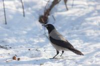 crow on the snow