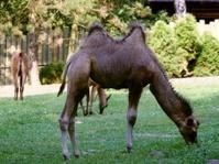 camel on meadow