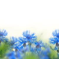 Wild blue cornflowers