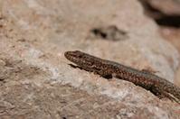 lizard ...