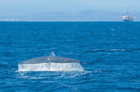 Blue Whale Near Oil Platform