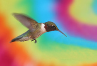 Psychedelic Hummingbird