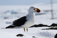 Dominican gull standing on snow with sea urchin