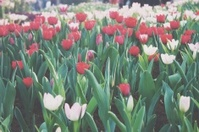 Tulips in flower festival in Thailand.(vintage style)