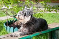 miniature schnauzer laying on the bench
