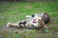 Yawning cat lying on grass