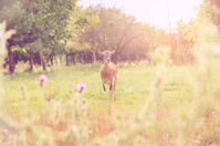Ram in grass