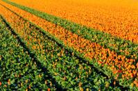Tulip field in Keukenhof, Netherlands