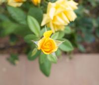 yellow flower rose
