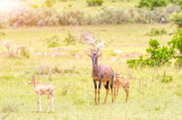 Mother and Baby Topies Antelope - very hot day