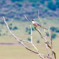 Bare faced go away bird, Corythaixoides personata