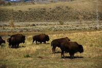 Herd of bison migrating