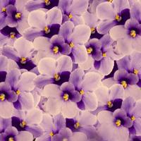 Bouquet of spring violets