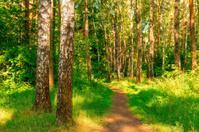 Summer forest with birches.