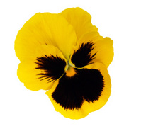 Yellow Pansy Flower Isolated Over White Background Stock Photos