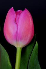 Lavender Tulip