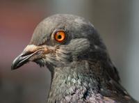 Macro of Pigeon Head