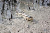 mudskipper on soil coastline.