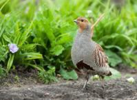 Grey partridge (Perdix perd.)