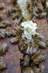 Honey Bees Feeding
