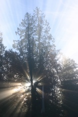 Cedar Sunrays