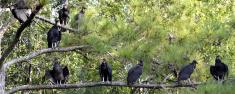 Buzzards In A Row