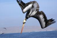 Brown pelican in the dive