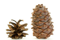 siberian cedar and pine cones