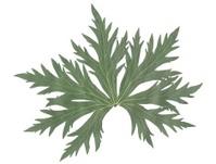 green leaf of wild geranium plant