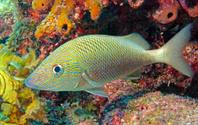White Grunt on Molasses Reef in Key Largo, Florida, USA